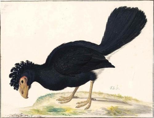 A Black Curassow.jpg